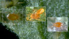 Triple-Threat Spider Mite Predators