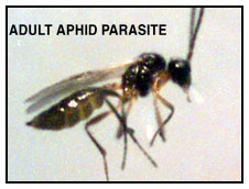 Adult Aphid Parasite