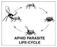 Aphid Parasite Lifecycle