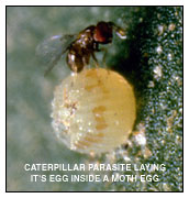 Caterpillar Parasite Laying Its Egg Inside A Moth Egg