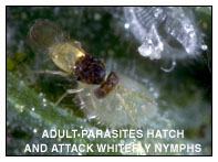 Adult Parasites Hatch and Attack Whitefly Nymphs