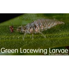 Green Lacewing Larvae Eggs (Chrysoperla carnea) Eggs on Cards